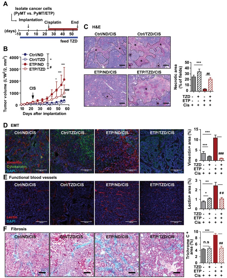 TZD enhances cisplatin sensitivity through suppression of endotrophin-mediated EMT, fibrosis and angiogenesis A,B. Schematic diagram for allografts (A), indicating cancer cells were isolated from tumours in PyMT (Ctrl) and PyMT/endotrophin (ETP) mice and implanted into wild-type hosts (0.5 × 10 6 cells/mouse). Host mice were given TZD (20 mg/kg) or ND diet at 10 days before implantation for tumour progression. Cisplatin (1 mg/kg, ip., every 5 days) was administered at 3-weeks post-implantation. Quantification of tumour volume (B), showing TZD suppressed tumour growth in endotrophin + -tumours. Data represent mean ± SD ( n = 8–9/group). * p = 0.05, ** p = 0.01 and *** p = 0.001 Ctrl/ND versus ETP/ND; ## p = 0.01 and ### p = 0.001 ETP/ND versus ETP/TZD by unpaired Student's t- test. C–F. Histological analysis of tumours in allografts after cisplatin treatment. H E staining and necrotic area quantification (C), showing significantly increased chemo-sensitivity in endotrophin + tumours upon combination of TZD with cisplatin. Necrotic area (*). *** p
