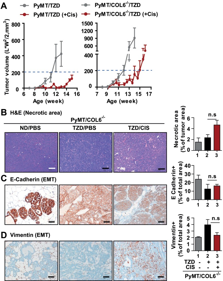 Bypassing endotrophin-downstream pathways with COL6 −/− mice abolishes beneficial effects of TZD on cisplatin sensitivity A. PyMT/COL6 −/− mice were given TZD (20 mg/kg) or ND at 8 weeks of age. Cisplatin (1 mg/kg, ip., 2 times/week) or PBS treatment was initiated in 10 week old mice. Tumour growth was determined by caliper measurements, and PyMT littermates given TZD were represented as a control. Data represent mean ± SD ( n = 6–8/group). B–D. Histological analysis. H E staining and necrotic area quantification (B), showing no necrotic area in PyMT/COL6 −/− mice following TZD combination with cisplatin treatment. EMT was determined by immunostaining for E-Cadherin (C) and Vimentin (D), showing no significant effects in TZD/CIS groups comparable to non-treated groups (PBS). Data represent mean ± SD (multiple images from n = 5–6/group). p = n.s (no significant) versus PyMT/COL6 −/− /TZD by unpaired Student's t -test. Scales: 200 µm.