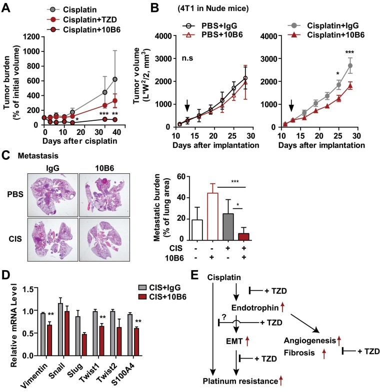 Neutralizing endotrophin activity with monoclonal antibodies sensitizes tumours to cisplatin treatment A. Pieces of tumours from PyMT mice were implanted into wild-type hosts. Tumour-bearing mice were given cisplatin (1 mg/kg, ip., every 5 days) or PBS, combined with either TZD (20 mg/kg) or anti-endotrophin monoclonal antibodies (100 µg/mouse, once a week) for tumour progression. Tumour volumes were determined by caliper measurements. Data represent mean ± SD ( n = 5/group). * p