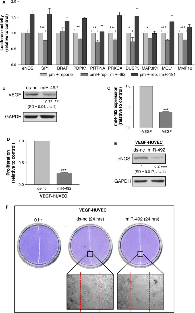The luciferase assay showed that miR-492 was unable to bind eNOS 3′UTR, whereas the selected miR-492 pull-out targets, except for BRAF, were able to interact with reporters containing putative binding sites in the mRNA target sequence ( A ). HUVEC transfected with miR-492 in comparison to those transfected with ds-nc showed the down-regulation of VEGF ( B ). The expression of miR-492 in VEGF-HUVEC ( C ). VEGF-HUVEC transfected with miR-492 in comparison to those transfected with ds-nc showed the reduction of cell proliferation ( D ), eNOS expression ( E ) and wound-healing activity ( F ). Data are reported as mean of at least three independent experiments (* P