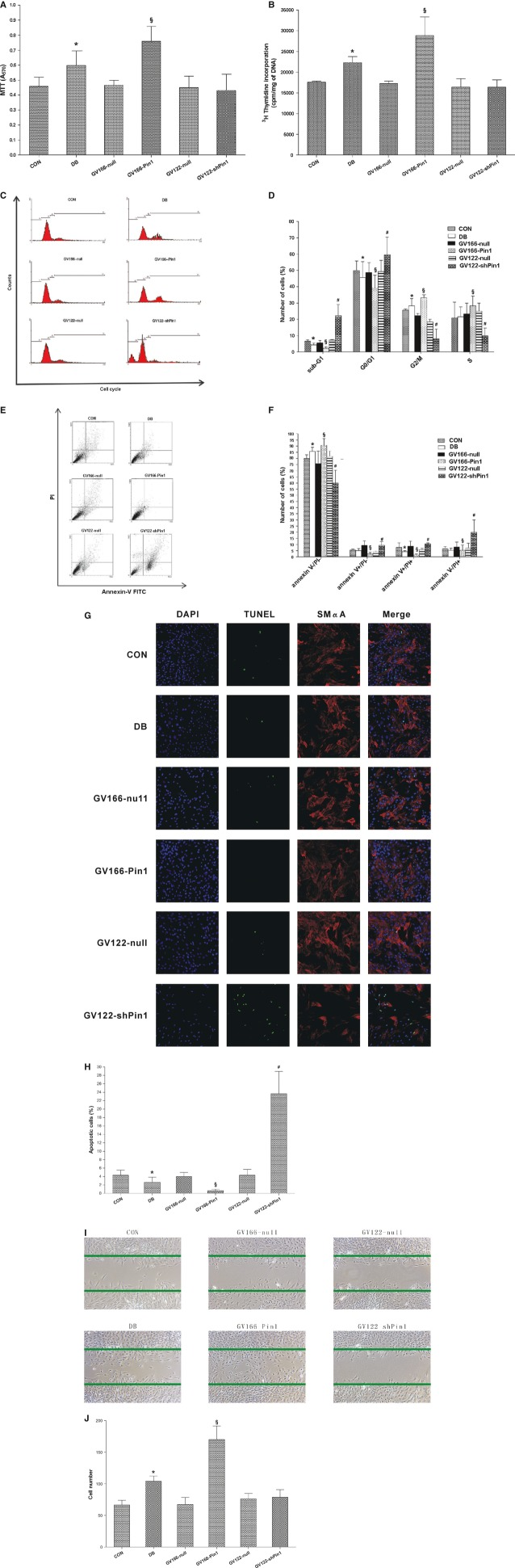 Effects of <t>Pin1</t> on proliferation, cell cycle progression, apoptosis and migration in vascular smooth muscle cells (VSMCs). VSMCs were cultured and infected as described in Figure 3 . Cell proliferation was assessed by both the MTT assay ( A ) and [ 3 H]-thymidine incorporation analyses ( B ). Cell cycle analysis was quantified by PI staining followed by flow cytometry analyses. M1, M2, M3 and M4 indicate sub G1, G0/G1, S and G2/M phases respectively ( C ). Bar graphs represent the mean ± SEM of three independent experiments ( D ). Cell apoptosis was detected by annexin <t>V-FITC/PI</t> staining ( E ) followed by flow cytometry analysis and TUNEL staining ( G ). The proportion of live cells (annexin V−/PI−), early apoptotic cells (annexin V+/PI−), late apoptotic/necrotic cells (annexin V+/PI+) and dead cells (annexin V−/PI+) was calculated for comparison ( F ). The TUNEL-positive cells were stained green, VSMCs were stained for SMαA and shown in red. Nuclei were stained blue by DAPI. The percentages of apoptotic nuclei were calculated by determining the number of DAPI-stained nuclei that were also positive for TUNEL staining. Approximately, 100 nuclei cells were counted in randomly chosen fields per region ( H ). VSMC migration was determined by a standard wound healing assay ( I ). Bar graphs represent the mean ± SEM of three independent experiments ( J ). * P