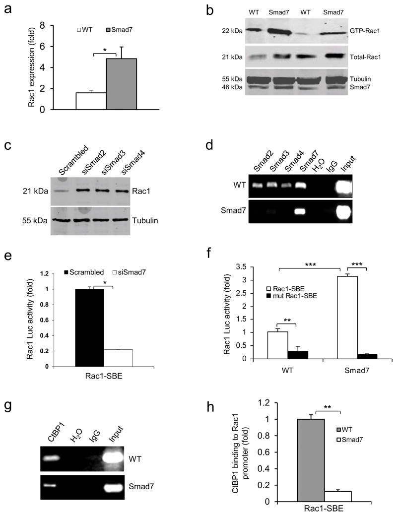 Smad7 leads to higher Rac1 expression by repressing individual Smad proteins and CtBP1 binding to the SBE of the Rac1 promoter (a ) Rac1 mRNA levels (mean ± s.d.) in keratinocytes from WT and Smad7 transgenic mice. n = 4 per group. ( b ) Western blot analysis of GTP-bound Rac1 (GTP-Rac1) and total Rac1 in WT and Smad7 transgenic keratinocytes. Smad7 protein levels were determined by re-probing the tubulin western blot with an antibody to Smad7 (see an additional western blot and quantification in Supplementary Fig. 4a, b ). (c) The amount of Rac1 protein after knocking down Smad2, Smad3 or Smad4 individually in human keratinocytes (See Supplementary Fig. 4c–e for Smad knockdown efficiencies). siSamd2-4, siRNAs specific for Smad2-4. ( d ) ChIP assay for Smad2, Smad3, Smad4, and Smad7 binding to the SBE -1.5 kb site of the Rac1 promoter in keratinocytes from WT and Smad7 transgenic mice. ( e ) Rac1 luciferase reporter assay in mouse keratinocytes. n = 6 per group. siSmad7, siRNA specific for Smad7; Rac1-SBE, the SBE-1.5 kb site of the Rac1 promoter. Data are the mean ± s.d. ( f ) Activities (mean ± s.d.) of Rac1- luc reporters containing SBE (Rac1-SBE) or mutant SBE (Mut Rac1-SBE) in keratinocytes from WT and Smad7 transgenic mice. n = 6 per group. ( g ) Images of ChIP assays of CtBP1 binding to the SBE-1.5 kb site of the Rac1 promoter in keratinocytes from WT or K5.Smad7 mice. ( h ) ChIP-quantitative PCR (mean ± s.d.) of CtBP1 binding to the SBE in g in keratinocytes from WT and Smad7 transgenic mice. n = 4 per group. * P