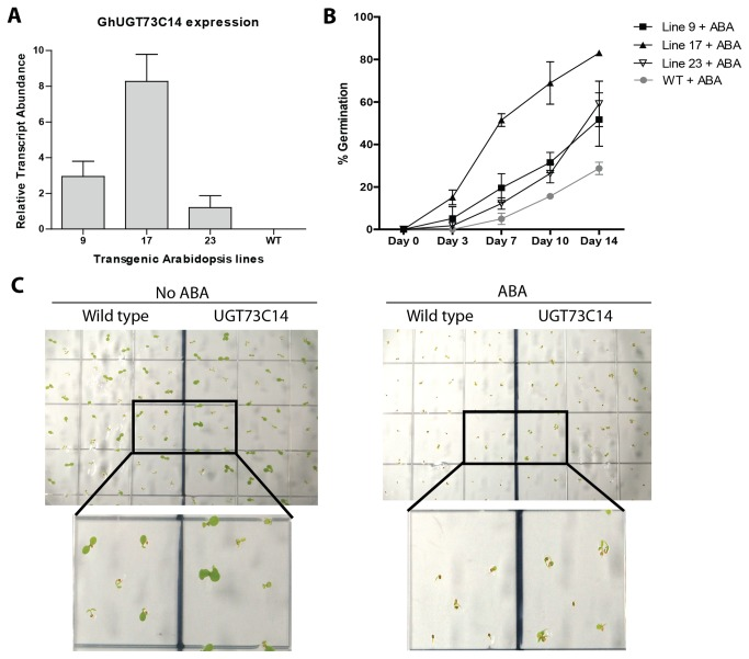 In vivo activity of UGT73C14 against ABA. (A) Relative transcript abundance of G . hirsutum UGT73C14 in transgenic Arabidopsis lines evaluated by RT-qPCR analysis. Error bars represent the standard deviation from three plants of line. (B) Transgenic Arabidopsis thaliana seeds overexpressing UGT73C14 (lines 9, 17, and 23) and wild type (Wt) were plated on phytagel supplemented with 2.2g/L Murashige and Skoog basal salts at pH 6.0. Each transgenic or wild type line was plated with and without filter sterilized 0.5μM Abscisic Acid in the phytagel. After 4 days at 4°C in darkness, germination occurred over 14 days in 8: 16 hr dark: light cycles at 18°C and 22°C, respectively. The percentage of germinated seedlings showing 2 emerged cotyledons was determined on days 0, 3, 7, 10 and 14. Statistical analysis of cotyledon emergence rate between transgenic and wild type plants is provided in Data S1. Error bars represent the standard deviation. (C) Representative picture of cotyledon emergence of wild type and UGT73C14 in the absence (left) or presence of 0.5 µM Abscisic Acid (right). The pictures were taken on day 6 after planting of T2 transgenic seeds of line 9 and wild type.