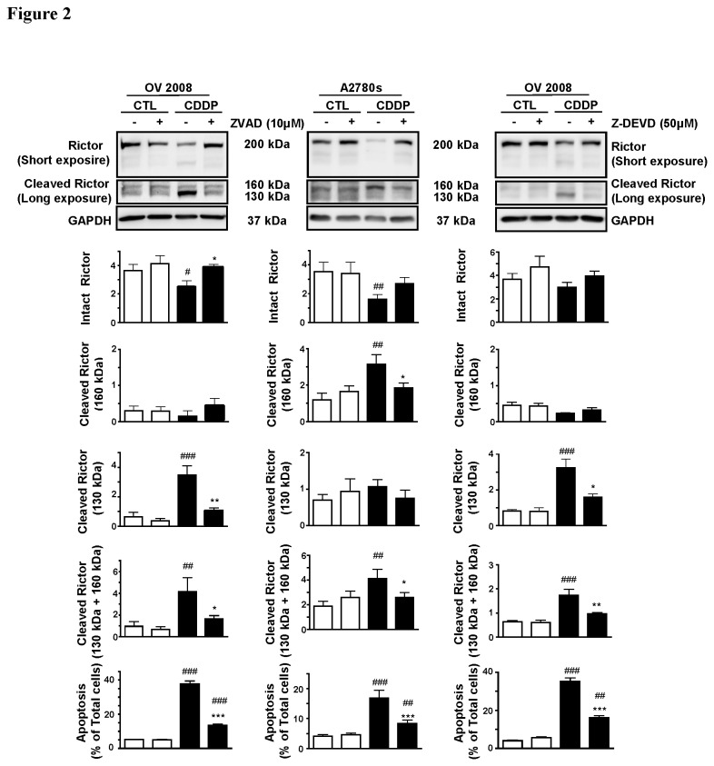 CDDP-induced rictor downregulation in CDDP-sensitive cells involves caspase-3-mediated cleavage. OV2008 and A2780s were pretreated with Z-VAD FMK (10 µM) and Z-DEVD FMK (50 µM) for 30 minutes before and during CDDP challenge (0-10 µM; 24 h) and rictor content and apoptosis were assessed. OV2008 cells treated with CDDP alone exhibited an intact rictor (200 kDa) and two cleaved products (160 kDa and 130 kDa). CDDP decreased intact rictor content and 160 kDa protein but markedly increased levels of the 130 kDa band. Treatment of A2780s with CDDP resulted in down-regulation of intact rictor but increased the level of the 160 kDa protein and had no effect on the 130 kDa protein. Pre-treatment of the cells with the pan-caspase inhibitor (Z-VAD) or the specific caspase-3 inhibitor (Z-DEVD) significantly attenuated the CDDP-induced changes in intact and cleaved rictor contents in both sensitive cells, and CDDP-induced apoptosis was significantly but not completely attenuated by the presence of the inhibitors in both chemosensitive cell lines. Rictor content was normalized against GAPDH (loading control). Results are presented as mean ± SEM (n=3 and n=5 in OV2008 and in A2780s, respectively). *p