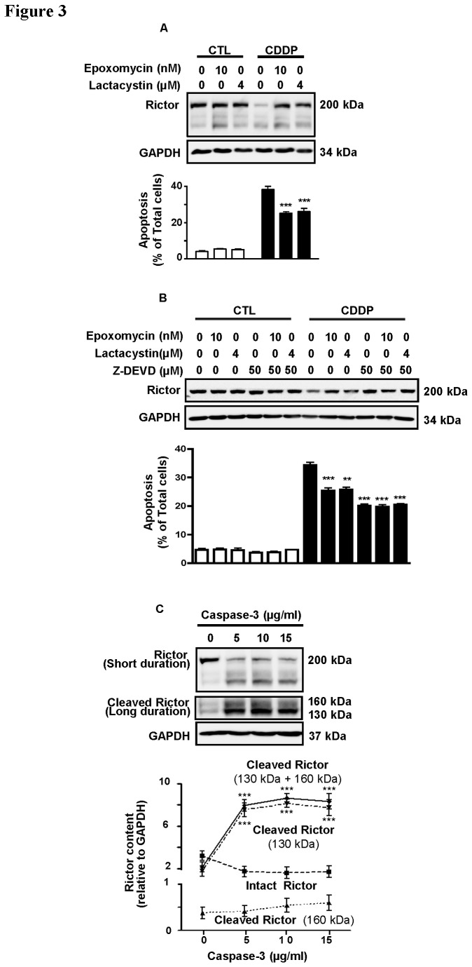 Proteasome-mediated degradation and caspase-3 activity are responsible for CDDP-induced rictor down-regulation in chemosensitive OVCA. A . OV2008 cells were pretreated (30 min) with the proteasomal inhibitors [epoxomycin (10 nM) and lacytasystin (4 µM)] and subjected to CDDP challenge (0-10 µM; 24 h). Rictor content and apoptosis were analyzed by Western blotting and nuclear morphology assessment. Both epoxomicin and lactacystin effectively blocked CDDP-induced rictor degradation (P