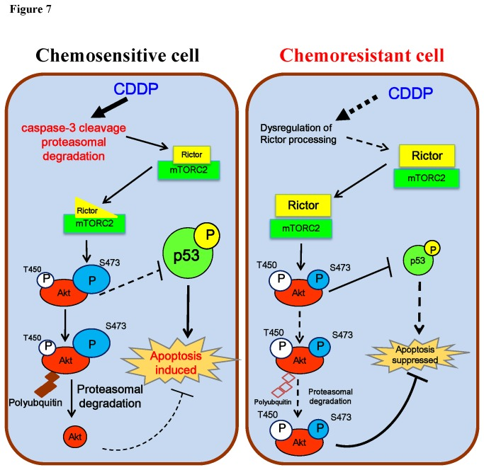 A hypothetical model illustrating the role of rictor in regulation of CDDP sensitivity in OVCA cells. In chemosensitive cells, CDDP activates caspase-3 and induces proteasomal degradation for rictor processing, and consequently destabilizes mTORC2, The unstable mTORC2 complex then facilitates Akt phosphorylation at Ser473, an event known to promote Akt proteasomal degradation and the induction of apoptosis. However, in chemoresistant cells, high level of stabilized rictor promotes Akt activation and stabilization, thereby contributing to CDDP resistance.