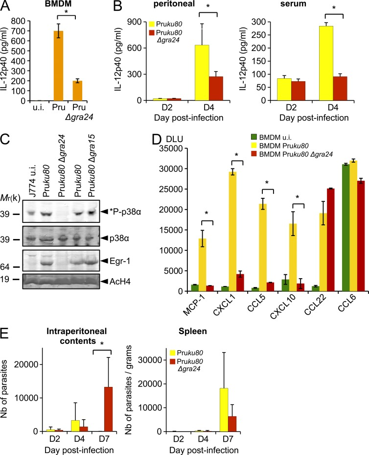 GRA24 promotes chemokine secretion and contributes to the control of early parasite replication in vivo at the site of infection. (A) IL-12p40 cytokine production by uninfected (u.i.) or 24-h-infected (Pru ku80 Δgra24 or parental strains) BMDM measured using ELISA. Means of three independent experiments ± SD are shown (*, P