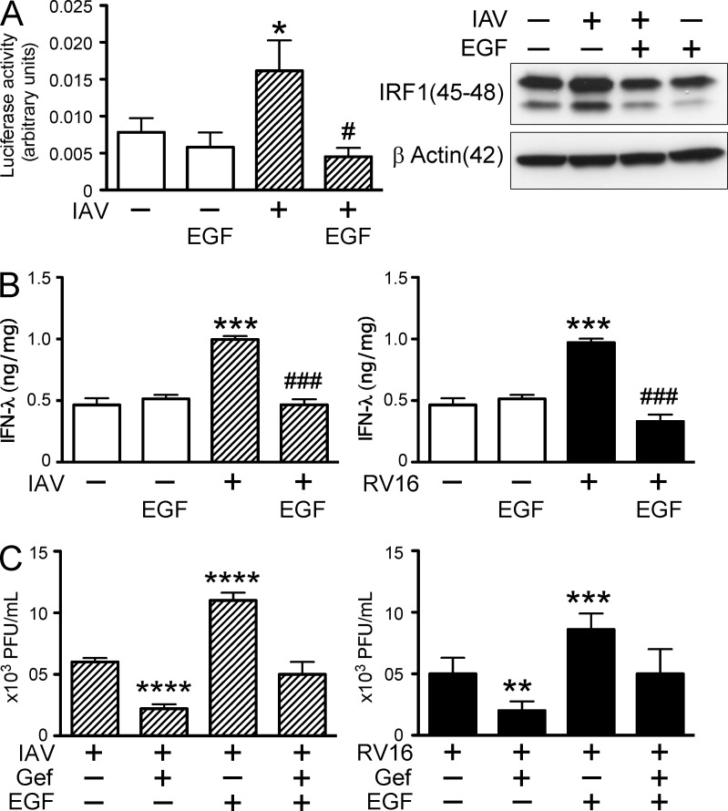 EGFR activation suppresses IRF1 and IFN-λ. (A) BEAS-2b cells were transfected with IRF1 luciferase reporter (left), and after 24 h treated with serum-free medium alone (empty columns), 10 ng/ml EGF, IAV (striped columns), and IAV plus EGF for 3 h before luciferase activity was measured ( n = 3 independent experiments in duplicate; *, P