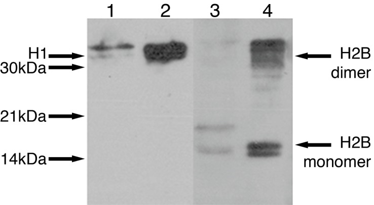 Release of histones H1 and H2B from ischaemic adult brain. Adult conditioned medium (ACM) was made by incubating ischaemic brain slices in defined culture medium that was subjected to affinity chromatography. Western blots using antibodies specific to histones H1 and H2B show the presence of histone H1 at 32 kDa (lane 1) and histone H2B at 16 kDa in ACM (lane 3). Protein standards are shown at 32 kDa (H1 lane 2) and at 16 kDa for the monomer and 32 kDa for the dimer (H2B lane 4).