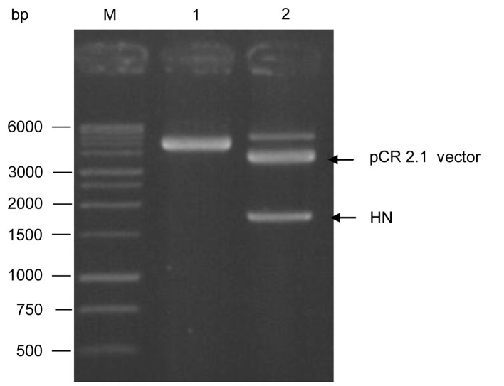 Agarose gel electrophoresis of the positive recombinant pCR 2.1/HN and pDisplay expression vector. Both the positive recombinant pCR 2.1/HN and pDisplay vector were double digested with the restriction enzymes  Sal I and  Sac II which released the hemagglutinin-neuraminidase (HN) fragment from the pCR 2.1 vector (lane 2). The double digested pDisplay vector was fractionated at the size of 5.3 kb (lane 1). Lane M represents 1 kb DNA ladder (Promega Corporation, Madison, WI, USA).