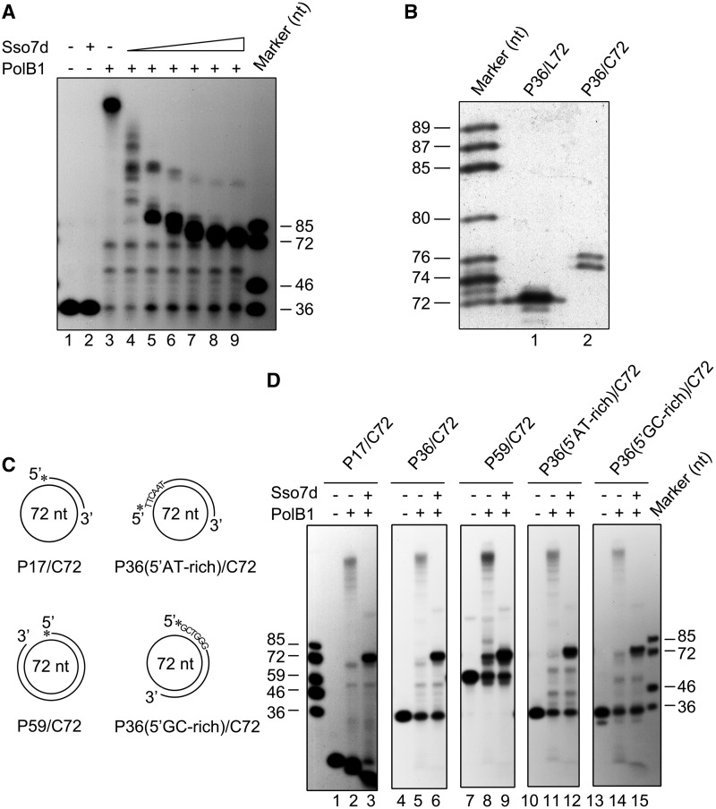 Inhibition of PolB1-mediated DNA strand displacement by Sso7d. ( A ) Effect of Sso7d on strand displacement by PolB1. PolB1 (20 nM) was incubated for 15 min at 65°C with P36/C72 (2 nM) in the presence of various amounts of Sso7d. The reaction mixtures were treated with proteinase K and extracted with phenol/chloroform. Samples were subjected to electrophoresis in 8% polyacrylamide gel containing 7 M urea in 1× TBE. Lane 1, control; lane 2, 90 μM Sso7d; lanes 3–9, Sso7d was added to 0, 0.5, 2.5, 10, 25, 50 and 90 μM, respectively. ( B ) Sizes of the products of strand displacement by PolB1 on templates bound maximally by Sso7d. PolB1 (20 nM) was incubated for 15 min at 65°C with P36/C72 or P36/L72 (2 nM) in the presence of 90 μM Sso7d. Reaction products were subjected to electrophoresis in an 8% sequencing gel in 1× TBE. ( C ) Sketches of primer templates used in experiments shown in Figure 2 D. Primers P17 and P59 are annealed to C72 starting from the same base on the minicircle as that for P36. P36(5′AT-rich) and P36(5′GC-rich), which carry 5′-AT-rich and 5′-GC-rich sequences, respectively, are annealed to different regions of C72. ( D ) Template dependence of the inhibition of strand displacement by Sso7d. PolB1 (20 nM) was incubated for 15 min at 65°C with an indicated primer template (2 nM) in the presence or absence of Sso7d (90 μM). Reaction products were subjected to electrophoresis in 8% polyacrylamide gel containing 7 M urea in 1× TBE. Gels were dried and exposed to radiographic film.