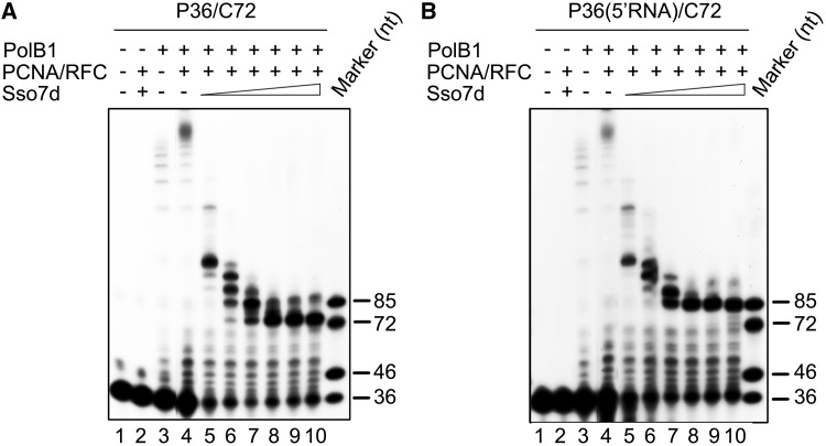 Modulation of PolB1-mediated strand displacement by Sso7d in the presence of PCNA and RFC. ( A ) PolB1-mediated DNA strand displacement. PCNA (100 nM) and RFC (100 nM) were preincubated for 5 min at 70°C with P36/C72. PolB1 (5 nM) and various amounts of Sso7d were added. After 15 min at 70°C, the mixture was treated with proteinase K and extracted with phenol/chloroform. Reaction products were subjected to electrophoresis in 8% polyacrylamide gel containing 7 M urea in 1× TBE. Lanes 5–10, Sso7d concentrations were 0.5, 2.5, 10, 25, 50, 90 μM, respectively. ( B ) PolB1-mediated RNA strand displacement. Reactions were assembled and processed as described in (A) except that P36(5′RNA)/C72, instead of P36/C72, was used as the primer template.