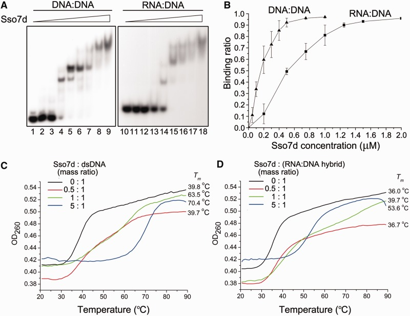 Binding and thermostabilization of a dsDNA fragment and an RNA:DNA hybrid by Sso7d. ( A ) Binding of Sso7d to a dsDNA fragment and an RNA:DNA hybrid. Sso7d was incubated for 10 min at 25°C with a radiolabeled 30-bp dsDNA fragment or a 30-bp RNA:DNA hybrid (2 nM). Samples were loaded onto a 5% polyacrylamide gel and electrophoresed in 0.1× TBE. Gels were dried and exposed to radiographic film. Sso7d concentrations were 0, 0.05, 0.1, 0.5, 1, 5, 10, 50 and 90 μM, respectively. ( B ) A plot of the Sso7d-bound fraction of the radiolabeled probe versus input Sso7d concentration. ( C and D ) Effect of Sso7d on the thermal stability of a dsDNA fragment and an RNA:DNA hybrid. Thermal denaturation of a 15-bp dsDNA fragment or an RNA:DNA hybrid in the presence of various amounts of Sso7d was determined by monitoring changes in UV absorbance at 260 nm.