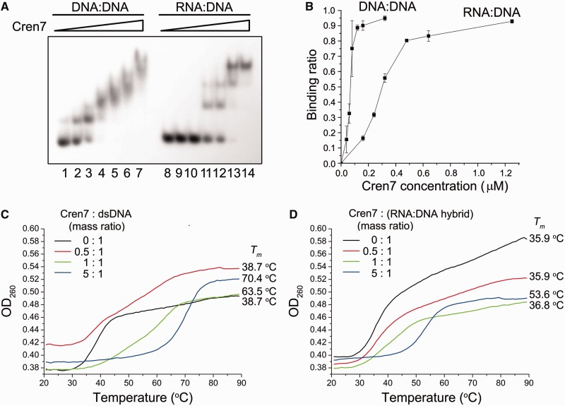 Binding and thermostabilization of a dsDNA fragment and an RNA:DNA hybrid by Cren7. ( A ) Binding of Cren7 to a dsDNA fragment and an RNA: DNA hybrid. Cren7 was incubated for 10 min at 25°C with a radiolabeled 30-bp dsDNA fragment or a 30-bp RNA:DNA hybrid (2 nM). Samples were loaded onto a 5% polyacrylamide gel and electrophoresed in 0.1 × TBE. Cren7 concentrations were 0, 0.04, 0.16, 0.32, 0.64, 1.25 and 5 μM, respectively. Gels were dried and exposed to radiographic film. ( B ) A plot of the Cren7-bound fraction of the radiolabeled probe versus input Cren7 concentration. ( C and D ) Effect of Cren7 on the thermal stability of a dsDNA fragment and an RNA:DNA hybrid. Thermal denaturation of a 15-bp dsDNA fragment or an RNA:DNA hybrid in the presence of various amounts of Cren7 was determined by monitoring changes in UV absorbance at 260 nm.