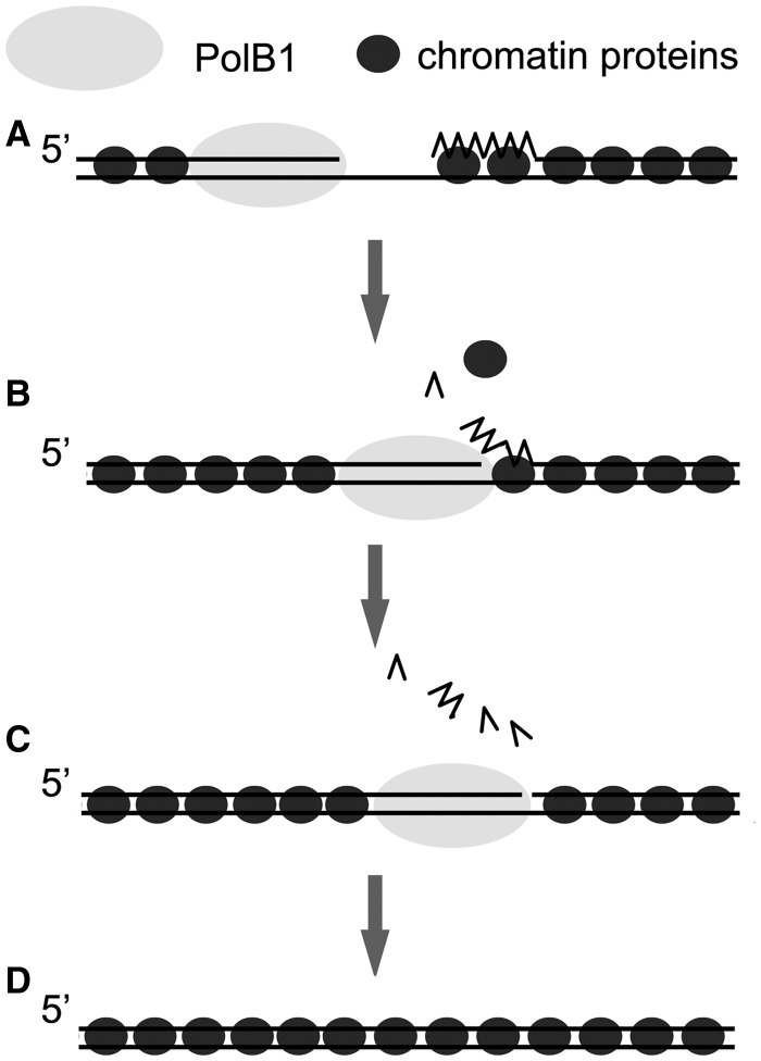 A model for the role of Sulfolobus chromatin proteins in Okazaki fragment maturation. Chromatin proteins, bound to double-stranded regions during lagging strand synthesis ( A ), become disassociated from the RNA:DNA hybrid region when PolB1 displaces the RNA primer ( B ). The displaced strand undergoes multiple rounds of flap cleavage by Fen1. PolB1 stops strand displacement on entering the dsDNA region, which is stably bound by the chromatin proteins ( C ). The resulting nick was sealed by DNA ligase as the newly synthesized Okazaki fragment was ligated into the lagging strand ( D ). PCNA, Fen1 and DNA ligase are omitted.