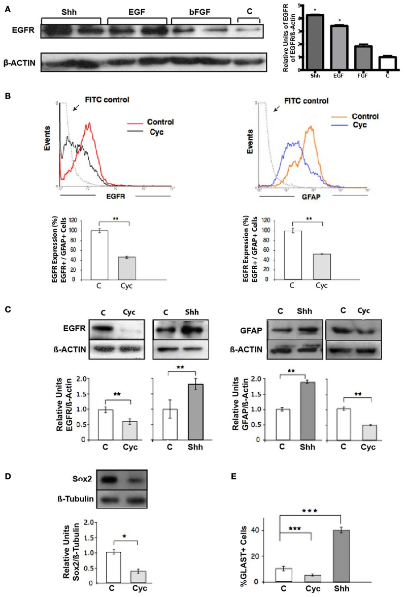 Shh controls the pool of RG cells (GFAP+, Sox2+, GLAST+) that express EGFR. (A) Western blot and densitometry analysis of EGFR show higher levels of EGFR in Shh-treated explants in comparison to samples treated with bFGF and positive control EGF. (B) Flow cytometry of cells harvested from E18.5 cortical explants. Treatment for 48 h with Cyc (10 μM) provokes similar decreases in the pool of EGFR- and GFAP-expressing cells. Histograms are representative of three independent experiments expressed as the percentage of the mean ± and SEM ( ** p