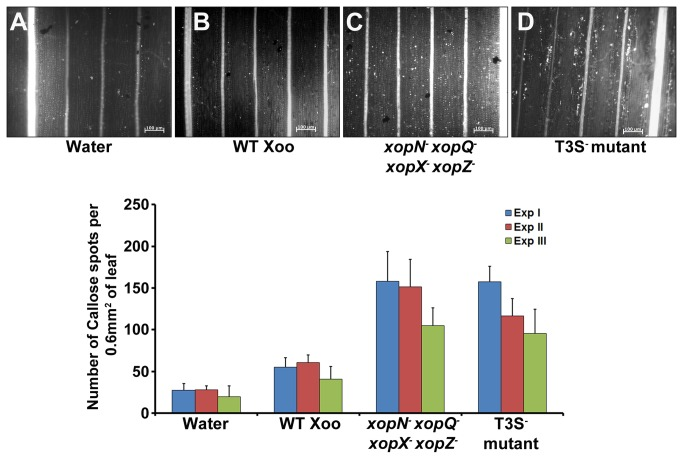 A xopN - xopQ - xopX - xopZ - quadruple mutant of Xanthomonas oryzae pv. oryzae induces callose deposition in rice leaves. Rice leaves were infiltrated with one of the following: water ( A ); wild type Xoo ( B ); xopN - xopQ - xopX - xopZ - quadruple mutant ( C ) and T3S - mutant ( D ). The treated leaves were subsequently stained with aniline blue and visualized under an epifluorescence microscope. White dots in these pictures are indicative of callose deposition. Scale bar measures 100µm. ( E ) Mean and standard deviation were calculated for number of callose deposits observed in a leaf area of 0.60 mm 2 . Data were collected from at least five leaves per treatment in each experiment (three experiments indicated as ExpI, ExpII and ExpIII) and two to three different viewing areas from the infiltrated region of each leaf. Statistically significant differences at P