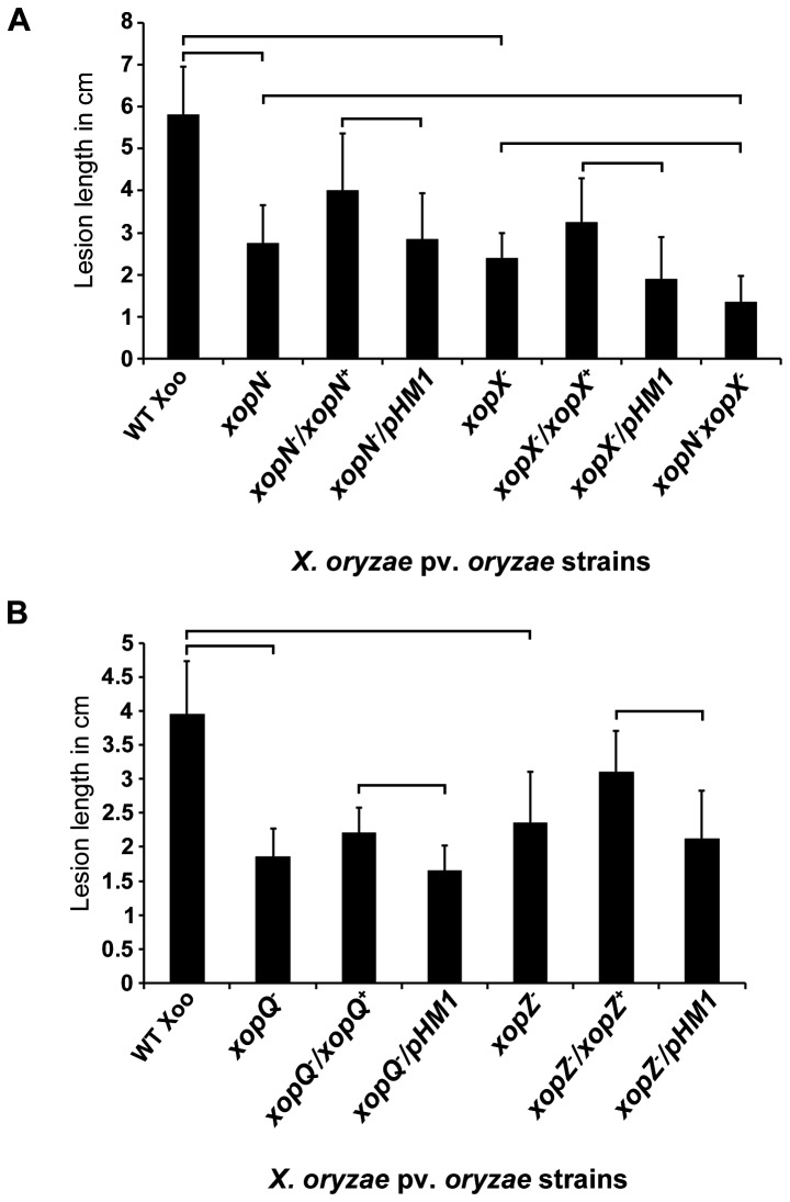 Virulence deficiency associated with xopN - , <t>xopQ</t> - , <t>xopX</t> - or xopZ - single mutants of Xanthomonas oryzae pv. oryzae . Leaves of susceptible rice variety Taichung-Native 1 (TN-1) were clip inoculated with the following X . oryzae pv. oryzae strains: ( A ) wild type, xopN - mutant, xopN- / xopN + (complemented strain), xopN - /pHM1 (vector control), xopX - mutant, xopX- / xopX + (complemented strain), xopX - /pHM1 (vector control) or xopN - xopX - double mutant strains; ( B ) wild type, xopQ - mutant, xopQ- / xopQ + (complemented strain), xopQ - /pHM1 (vector control), xopZ - mutant, xopZ- / xopZ + (complemented strain) or xopZ - /pHM1 (vector control). Lesion lengths were measured 7 days post inoculation. Error bars indicate the standard deviation of readings from at least 10 inoculated leaves. Similar results were obtained in independent experiments. A Student's two-tai led t test for independent means was performed for the following values: wild type with each of the single mutants and the double mutant with each of the single mutants with correction for multiple comparisons, mutant with empty vector and complemented strains for each single mutant. The brackets on the graphs indicate the comparisons that were made. All compared values are significantly different at P