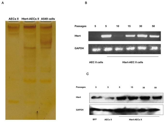 Telomerase activity detection. A: Silver staining method used to detect telomerase activity. The ladders in the gel show that HTERT-AEC II cells display telomerase activity compared with primary AEC II cells. B: RT-PCR detection of HTERT gene transcription. HTERT-AEC II cells maintained RNA levels of HTERT at passages 30 and 50. C: Western blot detection of the HTERT gene. Expression of HTERT protein is shown by HTERT-AEC II cells at different passages.