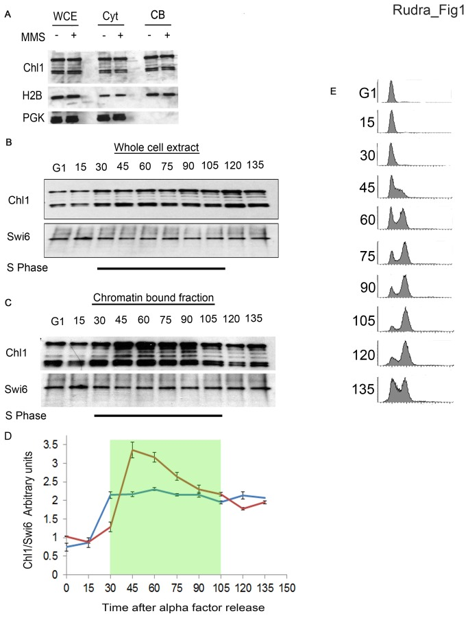 Chl1 expression and chromatin binding are induced during S-phase. A) Logarithmically growing cells expressing Chl1-13Myc (YBS 1129) were harvested and analyzed for chromatin binding with or without MMS exposure. Immunoblots show whole cells extracts (WCE), cytoplasmic fractions (Cyt) and chromatin bound fractions (CB). <t>Histone</t> 2B (H2B) and Phosphoglycerate Kinase (PGK) were probed in parallel as positive controls for chromatin-bound and cytoplasmic proteins, respectively. B) Logarithmically growing cells expressing Chl1-13MYC were synchronized in G1 (alpha factor) and released into fresh medium. Samples were harvested every 15minutes and analyzed by Immunoblotting for Chl1-13MYC and Swi6 as a loading control. Parallel blots were also analyzed for Histone 2B (H2B) and Phosphoglyerinkinase (PGK) to confirm chromatin and cytoplasmic fractions, respectively. C) G1 synchronized cells expressing Chl1-13Myc were released in fresh medium and samples collected every 15 minutes, processed for chromatin binding and probed to detect Chl1-13MYC and Swi6 (loading control). D) Data shown are Chl1 protein levels relative to Swi6 (blue line) and chromatin enrichment relative to Swi6 (red line) over the cell cycle averaged from 3 independent experiments. Shaded portion denotes S-phase. E) Flow cytometric data for cells analyzed in B) and C).