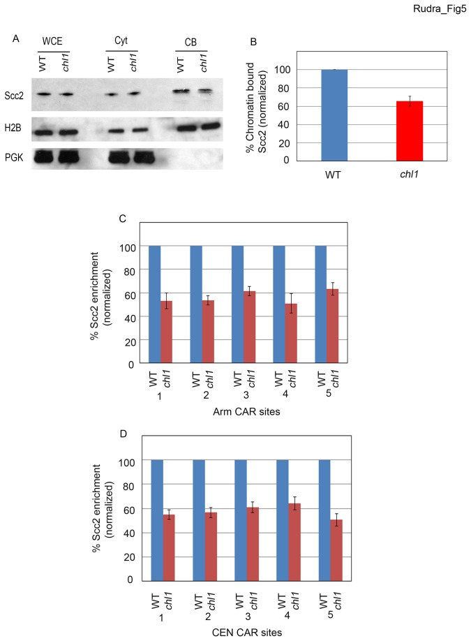 Chl1 regulates the binding of Scc2 to chromatin. A) Logarithmically growing wild type (YSR 135) and chl1 (YSR 138) expressing Scc2-3HA processed for Scc2 chromatin binding. Whole cell extracts (WCE), Cytoplasmic fractions (Cyt) and Chromatin bound fractions (CB) shown. Histone 2B (H2B) and Phosphoglycerate kinase (PGK) shown as controls for cytoplasmic and chromatin-bound proteins, respectively. B) Quantification of Scc2 binding to chromatin in chl1 mutant cells compared to wildtype levels (normalized to 100%). Scc2-3HA enrichment calculated from 3 independent experiments. C) Enrichment of Scc3-3HA in chl1 mutant cells at five independent chromosome arm CAR sites along Chromosome III compared to levels obtained from wild type cells (normalized to 100%). D) Enrichment of Scc2-3HA as shown in C) except for five sites that map across centromere III ( CEN ).
