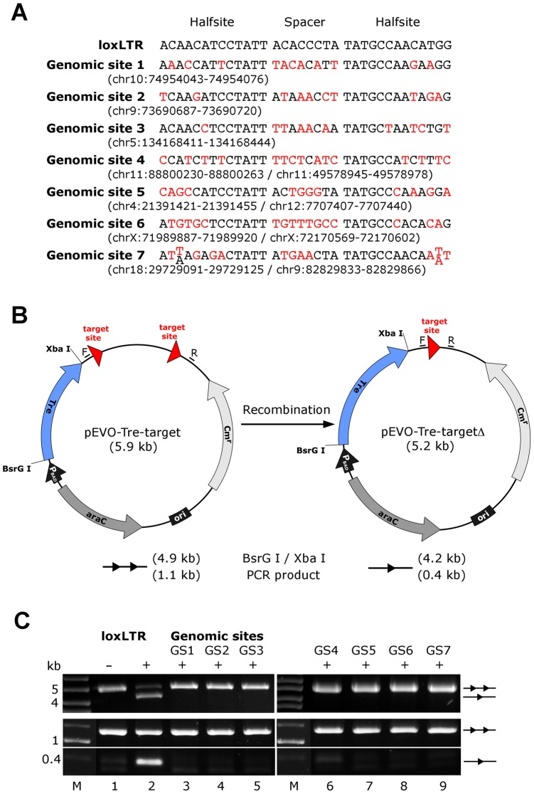Assay of potential Tre-related off-target effects. (A) Nucleotide sequences of genomic sites and their locations in the human genome (in brackets). Sequences are aligned to the Tre recognition site loxLTR. Nucleotides that differ from loxLTR are shown in red. (B) Representation of the recombination assay in E. coli . and in HeLa cells, respectively. The evolution vector pEVO-Tre-target contains two directly repeated recombinase target sites (loxLTR) or the sequences GS1, GS2, GS3, GS4, GS5, GS6, and GS7. In E. coli , Tre is expressed from the P BAD promoter upon induction with L-arabinose. The vector also contains the regulatory gene araC, and a chloramphenicol resistance marker (Cm r ). Recombination at the target sites leads to deletion of the 700 bp intervening region. Locations of the PCR primer binding sites (F, R) for detection of recombination are indicated. (C) Agarose gel showing the activity of Tre on loxLTR and the lack thereof for the seven genomic sites GS1 to GS7 (lanes 3–9). Upper panel: Recombination assayed in E. Coli . BsrG I/Xba I restriction digest results in a 4.9 kb fragment for non-recombined plasmid (two triangles) and a 4.2 kb fragment for recombined product (one triangle). Recombination tests on loxLTR served as negative and positive control (lanes 1 and 2). −, non-induced; +, induced with 1 mg/ml L-arabinose; M, DNA marker lane. Lower panel: Recombination assayed in HeLa cells. PCR using primers F and R that anneal to the vector DNA results in a 0.4 kb product when recombination occurs, while the non-recombined template results in a 1.1 kb PCR product. −, cotransfection with pIRESneo (i.e. no Tre expression); +, cotransfection with pIRESneo-Tre [18] .