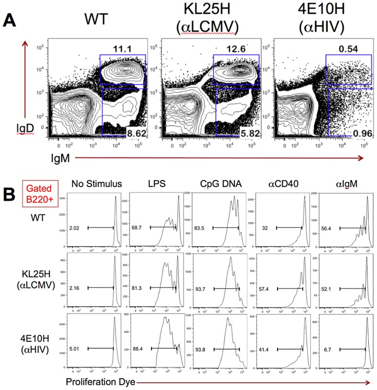 Analysis of 4E10H knock-in mice. ( A ) The percentages of IgM + IgD − pre-B and IgM + IgD + immature B cells within the B220 + cell population in the bone marrow of B6 WT, B6-KL25H and B6-4E10H mice are shown. Marrow cells were isolated and stained for cell surface markers as described in the methods section. FACS plots were previously gated B220 + and on live cell size based on forward and side scatter. Numbers represent the percentages of B220 + bone marrow cells falling within each box gate. ( B ) The proliferation of B220 + splenocytes from B6 WT, B6-KL25H, and B6-4E10H mice in response to overnight culture in the presence of B cell stimuli are shown. Cells were loaded with cell proliferation dye before overnight incubation, and proliferation was assessed by FACS analysis after cell surface staining to identify B220 + B cells. Histograms were previously gated B220 + and on live cell size based on forward and side scatter. Numbers represent the percentage of B220 + cells falling within the bar gate on each plot, indicating dilution of the proliferation dye as a result of cell division.