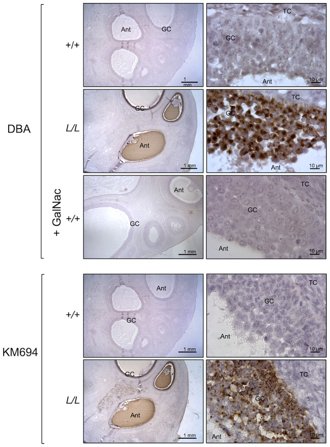 B4GALNT2 transferase activity revealed by DBA lectin and KM694 antibody staining in Lacaune sheep ovary. Photomicrographs of ovarian sections from +/+ and L/L ewes and stained either with biotinylated-DBA lectin (500 ng/ml) or KM694 mouse monoclonal antibody (1/1000 dilution). A GalNac treatment (200 µM) was used to compete for DBA staining as specificity control. Sections were counterstained with hematoxylin. A black segment indicates the microscopy magnification scale. GC, granulosa cell layer; TC, theca cell layer; Ant, antral cavity.