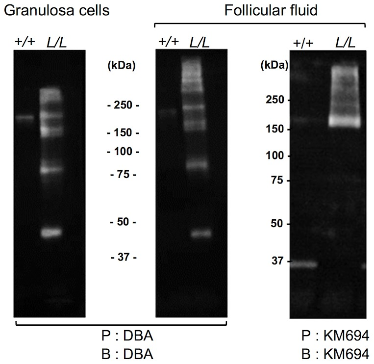 Western immunoblotting analysis of B4GALNT2 transferase activity in Lacaune sheep granulosa cells and follicular fluids. Granulosa cell protein extracts (50 µg) and follicular fluids (200 µg) from +/+ and L/L large antral follicles were precipitated (P) by agarose-DBA lectin or sepharose-protein A-KM694 monoclonal antibody. The resulting purified glycoproteins were separated on SDS-PAGE, transferred on nitrocellulose membrane and revealed after blotting (B) using biotinylated-DBA lectin or KM694 monoclonal antibody.
