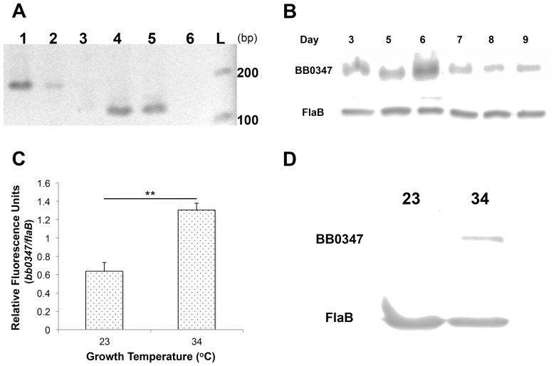 BB0347 is expressed and produced in culture. A) Expression of BB0347 was verified by RT- PCR with flaB mRNA as a control. Lane 1: flaB from genomic DNA, lane 2: flaB from cDNA, lane 3: no RT control, lane 4: bb0347 from genomic DNA, lane 5: bb0347 from cDNA, lane 6: no RT control, L: ladder. B) Western blotting shows that BB0347 protein is produced in the spirochete at all sampled time points. C) QRT- PCR of bb0347 at two different temperatures of incubation with flaB as a standard. D) Western blot using αBB0347 and αFlaB against whole-cell lysates from spirochetes grown at either 34 or 23°C to similar cellular densities. All figures are representative of at least two independent experiments with similar results, and error bars indicate ±SEM.