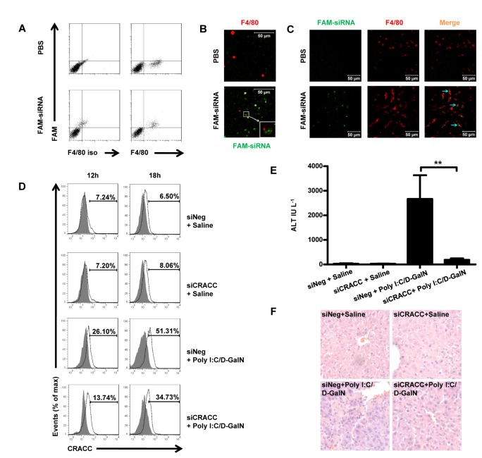 Silencing CRACC expression on Kupffer cells alleviates the liver injury induced by Poly I:C/D-GalN. A - C , Mice were treated with nanoparticle encapsulated FAM conjunct siRNA by intravenous injection; and 3h later FAM + cells among Kupffer cells were analyzed by flow cytometry ( A ); and the nanoparticle encapsulated FAM conjunct siRNA (green) endocytosed by Kupffer cells (red, stained with APC-F4/80 mAb) were tracked by con-focal microscopy both in isolated Kupffer cells ( B , Bar=50µm, 63× objective) and in site of frozen tissue sections( C , Bar=50µm, 40× objective). Kupffer cells were identified as F4/80 + cells. D , Mice were pre-treated with nanoparticle encapsulated siNeg or siCRACC for 6h, and then treated with Poly I:C/D-GalN in each group. The CRACC expression on Kupffer cells was analyzed by flow cytometry at 12h and 18h time points post the Poly I:C/D-GalN treatment. The Data are from 6-8 mice per group. E - F , The mice were pre-treated with nanoparticle encapsulated siNeg or siCRACC for 6h, and then treated with Poly I:C/D-GalN in each group. The serum ALT was tested ( E ) and the H E-Staining analyses were performed at 18h time point post Poly I:C/D-GalN ( F ). The Data are from 6-8 mice per group. **P