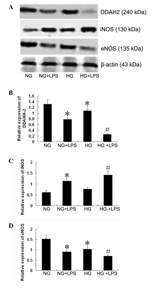 Effect of lipopolysaccharide (LPS) and a high glucose concentration on expression of dimethylarginine dimethylaminohydrolase (DDAH)-2, inducible nitric oxide synthase (iNOS) and endothelial NOS (eNOS) in cultured human pulmonary microvascular endothelial cells (PMVECs). Cells were incubated with normal (5.5 mM) or high (33 mM) D-glucose concentrations for 5 days in medium with 2% serum (to maintain the cells in the quiescent state), and then incubated with 10 μ g/ml LPS for 12 h. Cellular protein was isolated, separated by sodium dodecyl sulfate-polyacrylamide gel electrophoresis (SDS-PAGE) and transferred to membranes for western blotting as described in Materials and methods (A). Densitometry was performed to quantify the expression (B–D). NG, normal glucose group; NG + LPS, normal glucose + LPS group; HG, high glucose group; HG + LPS, high glucose + LPS group. Data are expressed as mean ± standard deviation (SD; n=5). * P