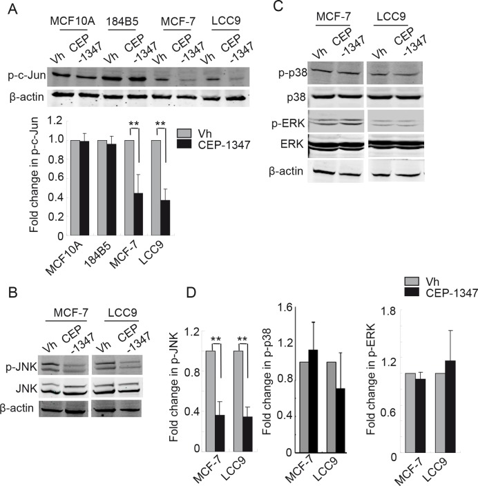 CEP-1347 treatment decreases JNK activity and c-Jun phosphorylation in MCF-7 and LCC9 cells Cells were treated with vehicle or 100 nM CEP-1347 for 48 h. Cellular lysates were prepared and analyzed by western blotting using the indicated antibodies. Actin was used as loading control. (A) Levels of phospho-c-Jun in vehicle and CEP-1347 treated cells. Upper : representative blots. Lower : quantitative analysis of p-c-Jun levels, normalized to β-actin levels. Results represent the mean +/− SD of three independent experiments. **p