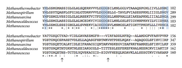 Alignment of partial amino acid sequences of the enzyme sulfopyruvate decarboxylase from methanoarchaea, from top to bottom: Methanothermobacter thermautotrophicus, Methanospirillum hungatei, Methanosarcina acetivorans, Methanocaldococcus jannaschii , and Methanococcus maripaludis . The arrows signify insertion positions of the Tn5〈KAN-2-pac〉 transposon into the gene comE (558 bp) of M. maripaludis . The insertion at 336 bp (112 aa) corresponds to the mutation in strain M. maripaludis S201, and the insertion at 395 bp (131 aa) corresponds to the mutation in strain M. maripaludis S202. Blue boxes containing aligned amino acids correspond to the conserved thiamine pyrophosphate-binding domain. Asterisks, double dots, and single dots denote positions that contain fully conserved amino acid residues, groups of strongly similar residues, and groups of weakly similar residues, respectively.