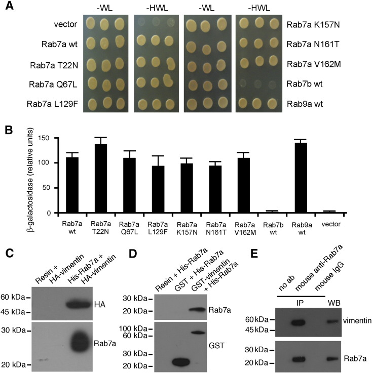 Rab7a interacts directly with vimentin. AH109 yeast cells were co-transformed with pGADT7-vimentin and pGBKT7, PGBKT7-Rab7b, PGBKT7-Rab9 or pGBKT7-Rab7a wt or mutant constructs. (A) Double transformants were plated on WL and HWL synthetic medium and grown at 30 °C for two days. (B) The β-galactosidase activity of double transformants was measured using o -nitrophenyl-β- d -galactoside as substrate as detailed in Materials and methods . Activities are measured as arbitrary relative units and represent mean ± s.d. values of 6 independent transformants from three independent experiments. (C) NiNTA resin alone or together with purified His-Rab7 was incubated with total extracts of HeLa cells overexpressing HA-vimentin. After affinity chromatography proteins were subjected to Western blot analysis using anti-HA and anti-Rab7a antibodies. (D) Glutathione resin alone or together with purified GST or GST-vimentin was incubated with purified His-Rab7a. After affinity chromatography proteins were subjected to Western blot analysis using anti-GST and anti-Rab7a antibodies. (E) Total extracts of HeLa cells and immunoprecipitates obtained with no antibodies (no ab), with mouse anti-Rab7a and with mouse IgG, as indicated, were subjected to WB analysis using rabbit anti-Rab7a and rabbit anti-vimentin antibodies.