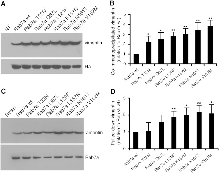 CMT2B-causing Rab7a mutant proteins show altered binding to vimentin. (A) HA-tagged Rab7a wt and mutant proteins were expressed in HeLa cells and immunoprecipitated using an anti-HA resin. Immunoprecipitates were subjected to Western blot analysis using anti-vimentin and anti-HA antibodies. (B) Quantification of four independent co-immunoprecipitation experiments. Intensities of the bands were quantified by densitometry, normalized against the amount of the Rab7a protein expressed. Values are mean ± s.d. (C) Purified His-tagged Rab7a wt and mutant proteins, as indicated, were incubated with total extracts of HeLa cells. Precipitated proteins after affinity chromatography with NiNTA resin were loaded on SDS-PAGE and subjected to Western blot analysis using anti-vimentin and anti-Rab7a antibodies. (D) Quantification of four independent pull-down experiments. Intensities of the bands were quantified by densitometry and normalized against the amount of the Rab7a protein. Values are mean ± s.d. Values obtained expressing disease-causing Rab7a mutant proteins were found to be significantly different from the values obtained in cells expressing Rab7a wt (*p