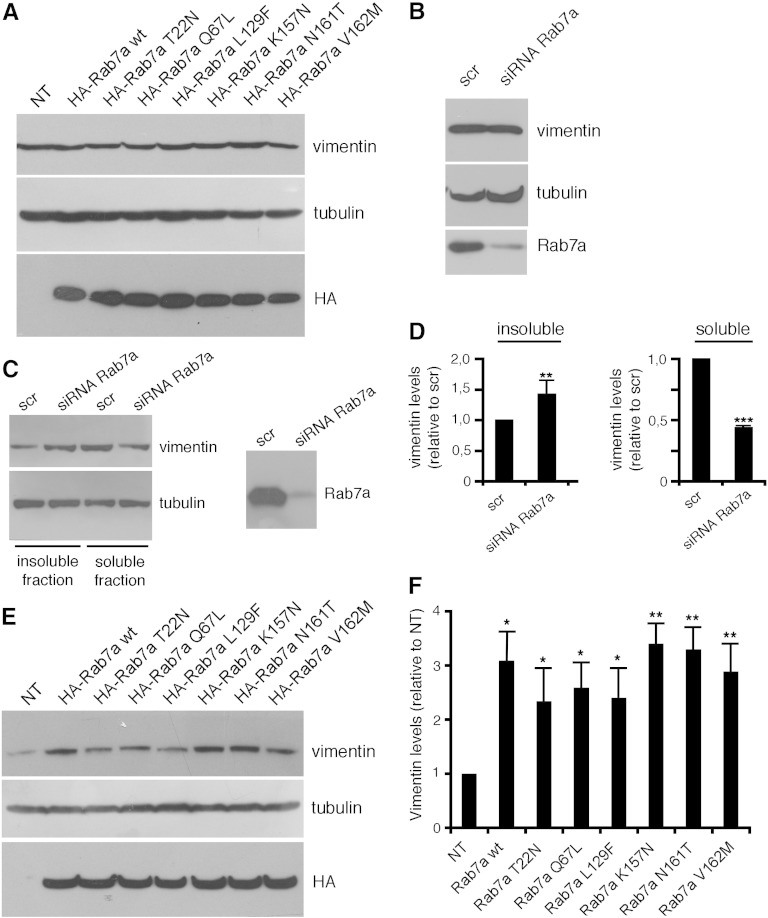 Modulation of Rab7a expression alters vimentin filament organization. (A) Total extract of Hela cells (NT) or of HeLa cells expressing HA-tagged Rab7a wt and mutant proteins as indicated were subjected to Western blot analysis with anti-vimentin, anti tubulin and anti-HA antibodies. Total extracts (B) or soluble and insoluble extracts (C) of Hela cells treated with control RNA (scr) or with Rab7a siRNA as indicated were subjected to Western blot analysis using anti-Rab7a, anti-tubulin and anti-vimentin antibodies. (D) Quantification of soluble and insoluble vimentins in Rab7a-depleted HeLa cells. The values represent the mean ± s.d. of four independent experiments. The intensities were quantified by densitometry, normalized against the amount of tubulin and plotted relatively to the intensities obtained in cells transfected with control RNA (scr). Values obtained in Rab7a-depleted cells were found to be significantly different from the values obtained in control (scr) cells (**p