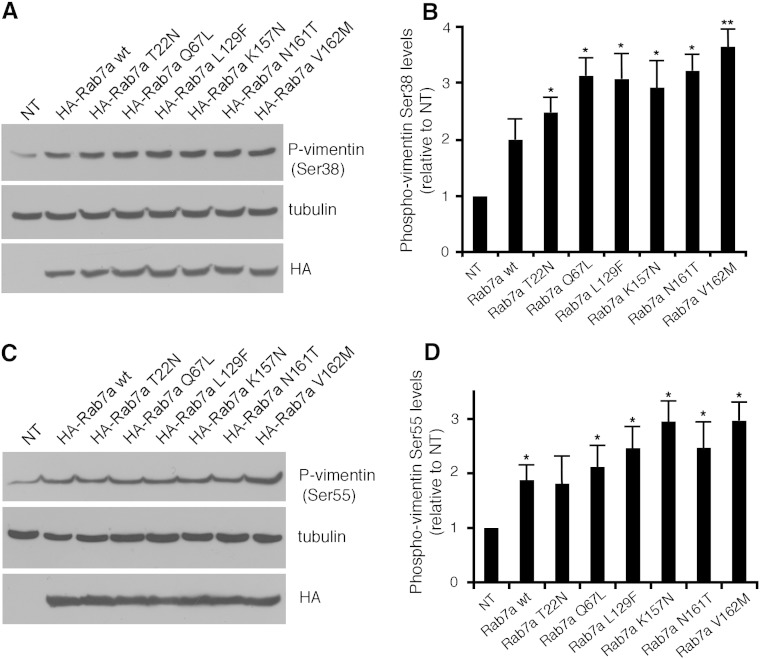 Rab7a overexpression induces vimentin phosphorylation. Total extracts of control HeLa cells (NT) or HeLa cells transfected with HA-tagged Rab7a wt and mutant proteins, as indicated, were subjected to Western blot analysis using anti-phospho-vimentin Ser38 (A) or Ser55 (C), anti-tubulin and anti-HA antibodies. (B, D) Quantification of phosphorylated vimentin Ser38 (B) or Ser55 (D) in cells expressing Rab7a wt and mutant proteins. Values represent the mean mean ± s.d. of four independent experiments. Intensities of the bands were quantified by densitometry, normalized against the amount of tubulin and plotted relatively to the values obtained in control HeLa cells (NT). Values obtained in cells expressing disease-causing Rab7a mutant proteins were found to be significantly different from the values obtained in control (NT) cells (*p
