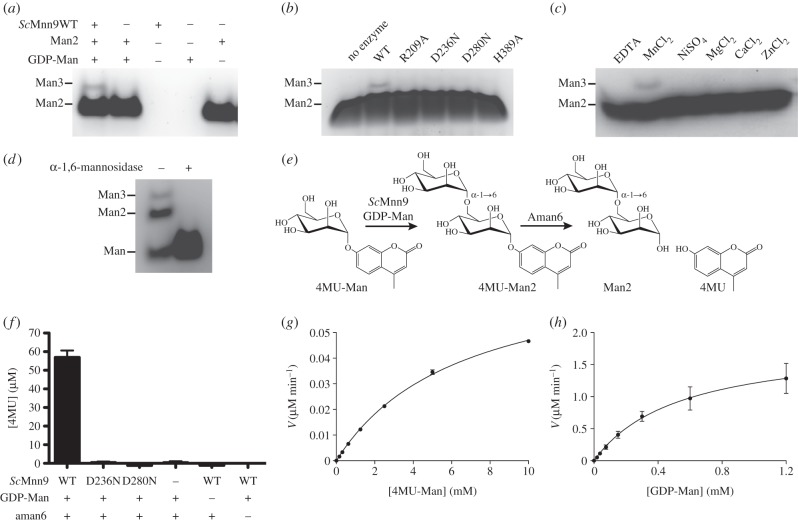 Activity assay of Sc Mnn9 wild-type and mutants. ( a ) FACE gel of the reaction products of Sc Mnn9 wild-type incubated with GDP-Man, α-1,6-mannobiose (Man2) and MnCl 2 or controls. ( b ) Same as ( a ), but incubated with wild-type or mutants of Sc Mnn9. ( c ) Same as ( a ), but incubated with 10 mM of MnCl 2 , other divalent cations or EDTA. ( d ) FACE gel of a reaction containing Sc Mnn9, mannose, GDP-Man and MnCl 2 . The reaction products were either treated or not treated with an α-1,6-mannosidase. ( e ) Diagram of the chemical reaction that is the foundation for the coupled enzyme assay to determine steady-state kinetics for Sc Mnn9. 4MU-Man is extended by Sc Mnn9 to 4MU-Man2, which in turn acts as a minimal substrate for B. circulans Aman6, an α-1,6-mannosidase. The release of fluorescent 4MU was measured at an excitation wavelength of 360 nm and an emission wavelength of 460 nm. ( f ) Bar chart of the measured 4MU released after the reaction of Sc Mnn9 wild-type, D236N and D280N in presence and absence of GDP-Man and Aman6 mannosidase. Error bars indicate the standard error of the mean (s.e.m.), n = 3. ( g , h ) Steady-state kinetics of Sc Mnn9 ( g ) in the presence of GDP-Man (1.2 mM) and variable 4MU-Man concentrations or ( h ) in the presence of 4MU-Man (10 mM) and variable GDP-Man concentrations. Error bars indicate s.e.m., n = 3.