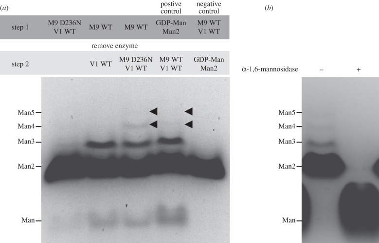 Synergy of Sc Mnn9 and Sc Van1. ( a ) FACE gel of ANTS-labelled reaction products of the reaction of Sc Mnn9 (M9), Sc Van1 (V1), GDP-Man, α-1,6-mannobiose (Man2) and MnCl 2 . First lane: Sc Mnn9-D236N and Sc Van1 wild-type were incubated together, the reaction was stopped and the products were labelled before the separation on a FACE gel. The faint band above Man2 is assumed to be leakage from lane 2 (noted on other gels, not shown). Second and third lanes: Sc Mnn9 WT was used in absence of Sc Van1; Sc Mnn9 WT was then removed using a 10 000 MWCO filter, and Sc Van1 WT alone (second lane) or Sc Mnn9-D236N and Sc Van1 WT (third lane) were added to the reaction. The second step of the reaction was stopped and the products were labelled before being separated on a FACE gel. Fourth lane: control in which the substrates were incubated in the absence of enzymes, spun through the filter and subsequently the reaction was carried out by addition of the enzymes. The products formed due to the presence of substrates and GTs. Fifth lane: control in which the enzymes were incubated in the absence of the substrates, removed by the filter and the filtrate was enriched with the substrates. Products did not form due to the absence of GTs. ( b ) Sc Mnn9, Sc Van1, GDP-Man, α-1,6-mannobiose and MnCl 2 were incubated, and the reaction products were either treated (+) or not treated (–) with the B. circulans Aman6 α-1,6-mannosidase. The products after the reaction were labelled with ANTS and run on a FACE gel.