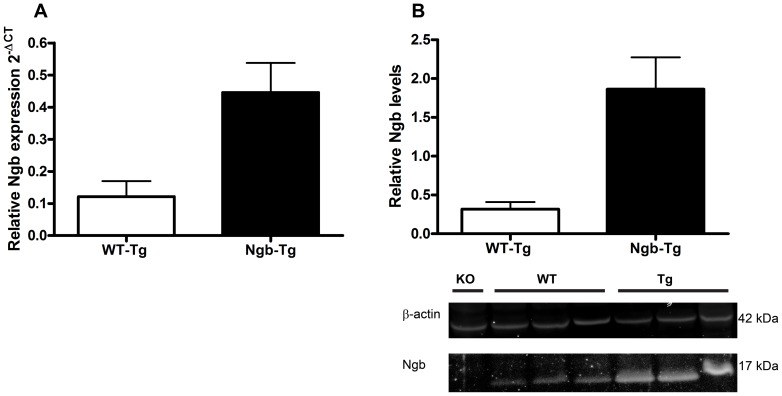 Genotyping and Western blot analysis of Ngb over expression. ( A ) RT-QPCR showed an approximately four fold increase in Ngb mRNA expression in Tg (n = 4, 0.446 SD±0.092) mice compared to WT (n = 8, 0.121 SD±0.048). ( B ) Western blot analysis confirmed the increase in mRNA showing an approximate five-fold increase in Ngb expression in Tg (n = 3, 1.864 SD±0.410) compared to WT (n = 3, 0.317 SD±0.091) mice. WB of ß-actin and Ngb are shown under the graph.