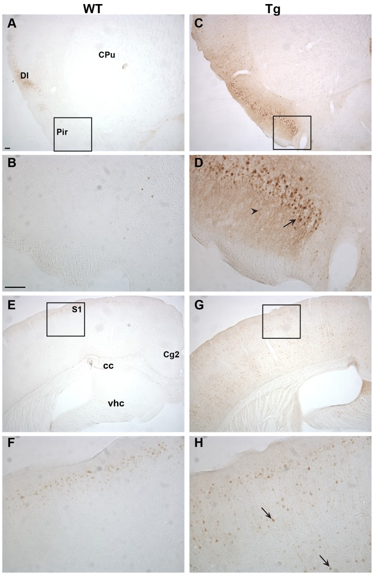 <t>Ngb-IR</t> in cortical areas. In the piriform cortex Ngb-IR was only seen in few cells of WT mice ( A-B ). Conversely, intense Ngb-IR was seen in cell bodies and processes throughout the piriform cortex of Tg mice ( C-D ). In WT mice Ngb-IR was confined to 2–3 cell layers of the S1 ( E-F ) whereas in Tg mice Ngb-IR was seen scatter throughout all cortical layers ( G-H ). Black arrow exemplifies an Ngb over expressing cell body and black arrowhead over expressing processes. Abbreviations: Caudate putamen (CPu); Cingulate cortex, area 2 (Cg2); Corpus callosum (cc); Dysgranular insular cortex (DI); Piriform cortex (Pir); Primary somatosensory cortex (S1); Ventral hippocampal commissure (vhc). Scale bar 100 µm.