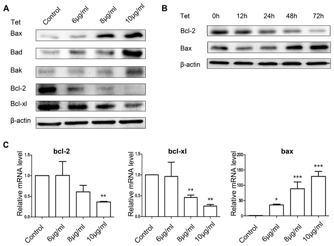 The effect of tetrandrine on apoptosis-related proteins in BGC-823 cells. (A) Western blot analysis of the expression of apoptosis-related proteins in BGC-823 cells treated with 6, 8, and 10 μg/ml tetrandrine for 24 h. (B) Western blot analysis of bcl-2 and bax treated with 8 μg/ml tetrandrine for 12, 24, 48, and 72 h. (C) Effects of tetrandrine on the expression levels of bcl-2, bcl-xl, and bax were determined using real-time PCR (1), control (2) 6 μg/ml (3) 8 μg/ml (4) 10 μg/ml. β-actin expression was used as an internal control. Data are reported as the means ± SD of at least three experiments. * P