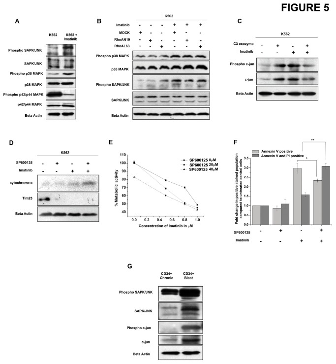 Inhibition of p210 Bcr-Abl leads to increased JNK activity. (A) K562 cells were treated with imatinib with 1µM for 24 hr and the levels of phosphorylated p38 MAPK, p38MAPK, phosphorylated SAPK/JNK, SAPK/JNK phosphorylated p42/44 MAPK, p42/44 MAPK was assessed. Beta actin was used as a loading control. (B) K562 cells were transfected with MOCK, RhoAN19 or RhoAL63 vectors followed by treatment with/without 1µM imatinib for 24 hr. The levels of phosphorylated p38 MAPK, p38MAPK and phosphorylated SAPK/JNK, SAPK/JNK was assessed by western blotting. (C) K562 cells were treated with imatinib, C3 exozyme or both and the activity of SAPK/JNK pathway was assessed by looking into the phosphorylation of c-jun. (D) K562 cells were treated with imatinib, SP600125 or both and the level of cytochrome c released from the mitochondria was analysed in the mitochondria free cytosolic fraction. Tim23 was used to estimate mitochondrial contamination in the mitochondria free cytosolic preparations while beta actin was used as a loading control. (E) K562 cells were treated with the indicated concentrations of imatinib and SP600125 either singly or in combination for 24hrs. The percentage metabolic activity was assessed by MTT assay. Data shows the mean percent metabolic activity for individual treatments in three separate experiments. (F) K562 cells were treated with 1µM imatinib, 20µM SP600125 or both and apoptosis was measured by staining the cells with Annexin V and PI. Graph shows the change in Annexin V stained and Annexin V + PI stained population compared to untreated control cells (n=3, *p