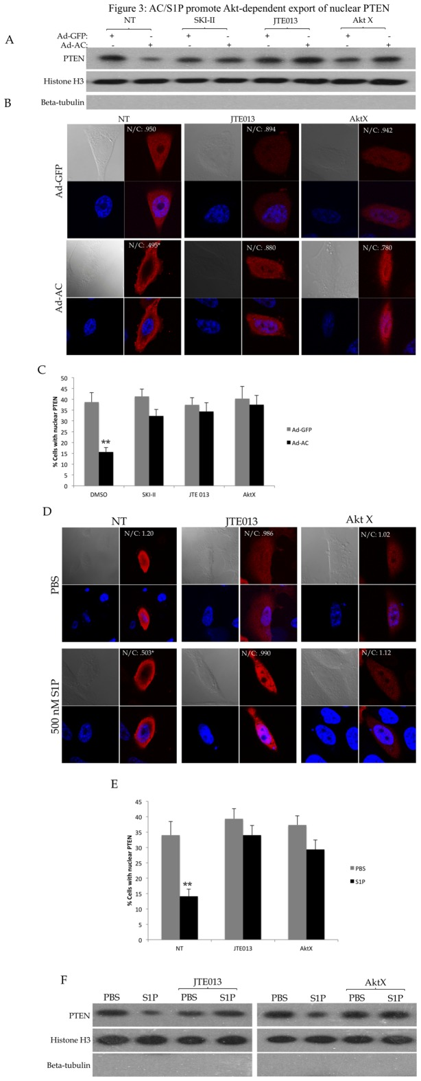 AC/S1P promote Akt-dependent export of nuclear PTEN. PPC1 cells were transfected with WT-PTEN were infected with Ad-GFP or Ad-AC for 48 hours in the presence of DMSO (NT) or the indicated compounds for 24 hours. A) Nuclear fractions from the indicated treatments were isolated and evaluated for presence of PTEN with Histone H3 as a nuclear loading control and absence of β-tubulin to indicate purity of the nuclear sample. B) Cells were immunostained for PTEN (red) and nuclei (blue). C) The percentage of cells from (B) which had nuclear PTEN in each treatment. D) PPC1 cells transfected with WT-PTEN were treated with 1µM JTE013 or 5µM AktX for 24 hours prior to treatment with the indicated dose of S1P or PBS for 2 hours followed by fixation and immunostaining for PTEN (red) and nuclei (blue). E) The percentage of cells from (D) which had nuclear PTEN. F) Nuclear fractions from the indicated treatments were isolated and evaluated for presence of PTEN with Histone H3 as a nuclear loading control and absence of β-tubulin to indicate purity of the nuclear sample. One way ANOVA with Bonferroni correction, *p