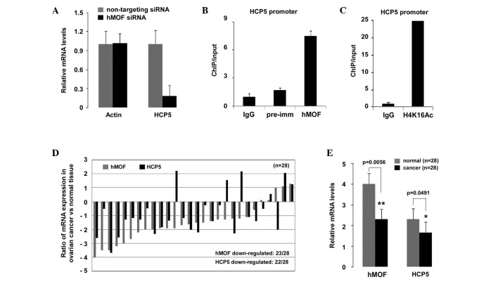 HPC5, an hMOF target gene, is frequently downregulated in ovarian cancer tissues. (A) A reduction in HCP5 mRNA expression levels in hMOF siRNA knockdown cells. HeLa cells were transfected with hMOF or NT siRNAs. Following 48 h of transfection, the mRNA levels of HCP5 and actin were measured by qPCR. Error bars represent the standard error of the mean of three independent experiments. (B and C) hMOF colocalizes with H4K16Ac at HCP5 promoter. ChIP assays using transfected hMOF or NT siRNA HeLa cells were analyzed by qPCR. Bar graphs show the ratio of ChIP signals that were normalized to the input DNA. (D) HCP5 mRNA expression patterns in ovarian cancer tissues. 28 randomly selected clinical ovarian cancer and contralateral normal tissues were used. The HCP5 and hMOF mRNA expression levels in ovarian cancer were analyzed by qPCR. The y-axis indicates the log2 value of the ratio of HCP5 and hMOF expression levels between the cancer and normal tissues from the same patients. (E) Statistical analysis of qPCR results. Each bar represents the mean of three independent experiments. The significant difference is expressed as * P