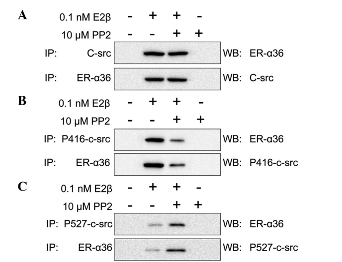 ER-α36-c-Src interaction analysis. Extracts from SGC7901 cells were incubated with E2β and/or with PP2. Formed complexes were pulled down and analyzed using antibodies against (A) c-Src and ER-α36, (B) p416-c-Src and ER-α36 and (C) p527-c-Src and ER-α36. ER, estrogen receptor; E2β, 17β-estradiol.