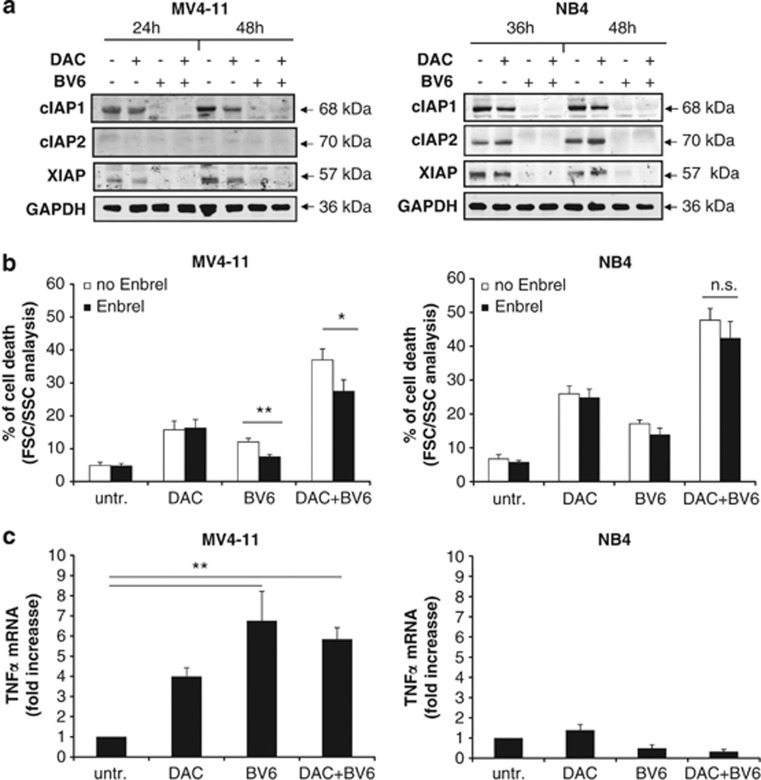 BV6/DAC-induced cell death is partly TNF α -dependent. ( a ) Cells were treated for 24 and 48h (MV4-11) or for 36 and 48h (NB4) with BV6 and/or DAC (MV4-11: 600nM BV6, 30nM DAC; NB4: 100nM BV6, 50nM DAC). Protein levels of cIAP1, cIAP2 and XIAP was assessed by western blotting. Glyceraldehyde 3-phosphate dehydrogenase (GAPDH) was used as loading control. ( b ) MV4-11 and NB4 cells were treated for 48h with BV6 and/or DAC in the presence or absence of 100 μ g/ml Enbrel. Cell death was determined by FSC/SSC analysis. Mean and SD of three experiments performed in triplicate are shown. * P