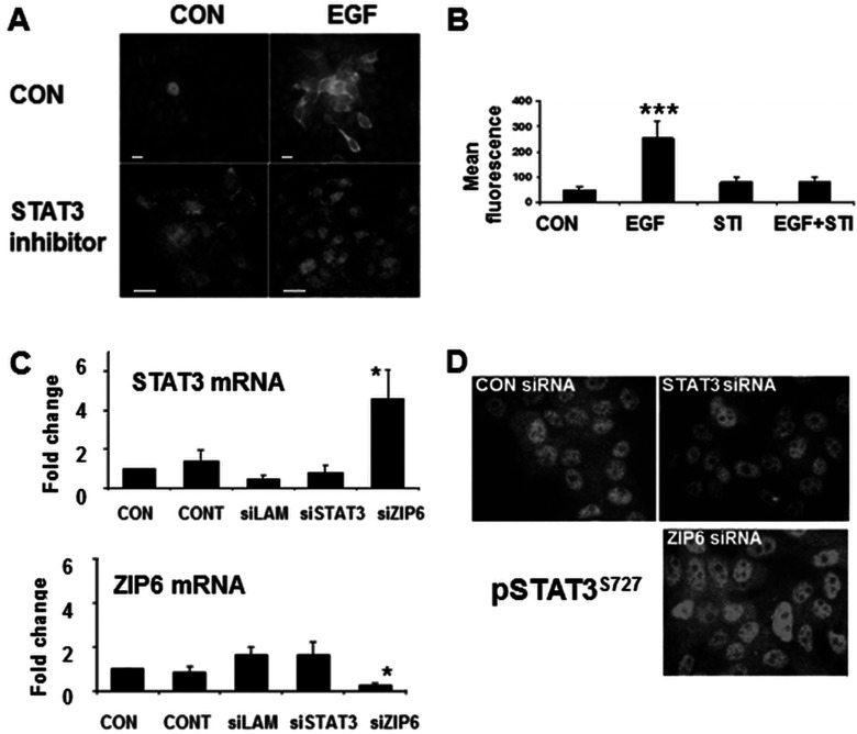ZIP6 expression requires STAT3 Fluorescent microscopy ( A ) or FACS analysis ( B ) of MCF-7 cells treated with EGF and/or a STAT3 inhibitor (STI) for 24 h and probed with ZIP6-Y antibody. The observed increase in ZIP6 by EGF treatment is prevented by the STAT3 inhibitor. FACS results show mean fluorescence±S.D. for three experiments. Statistical significance of EGF compared with control of P