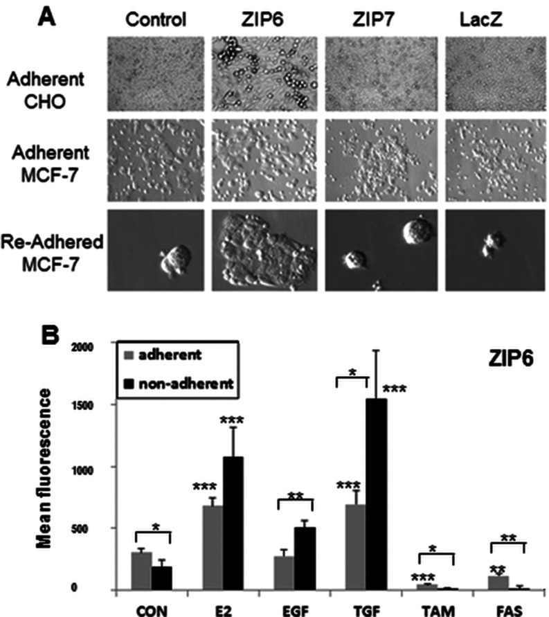 ZIP6 enrichment in non-adherent cells ( A ) CHO or MCF-7 cells transfected with lipid control, ZIP6, ZIP7 or β-galactosidase (LacZ) were imaged 16 h after transfection and cells transfected with ZIP6 had either detached clumps of live cells (CHO) or detached single round cells (MCF-7). Non-adherent MCF-7 cells grown overnight on new coverslips for 24 h (re-adhered) had more cells from ZIP6 transfected dishes. ( B ) Adherent (grey) and non-adherent (black) MCF-7 cells treated for 7 days with oestrogen (E2), EGF, TGF, TAM or FAS (Faslodex®) were collected and probed for ZIP6 conjugated with Alexa Fluor® 488 and analysed by FACS. Results are means±S.D. for three experiments and demonstrate ZIP6 enrichment in non-adherent cells. Statistical significance from the relevant control (CON) is indicated above the histogram bars as * P